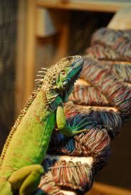 pet green iguana thinking iguana pinterest green iguana