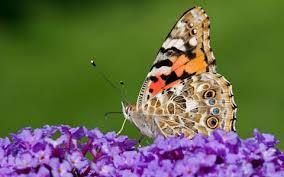 rise of butterfly weddings is threatening species