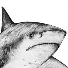 sand tiger shark mati art gallery