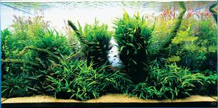 amano aquascape aquariums and aquascaping inspiration
