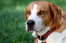 bluetick coonhound pitbull mix treeing walker coonhound temperament u0026 personality