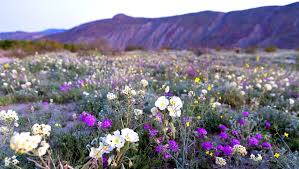 the super bloom unleashed serious flower power at anza borrego