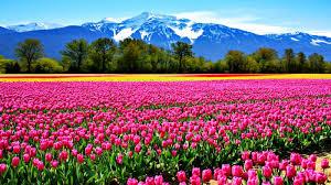 Tulip Field Tulips Field Wallpaper 103427 Hd Wallpapers Download