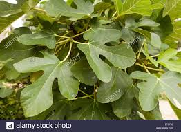 common fig leaves on tree ficus carica virginia usa stock