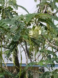 sesbania grandiflora wikipedia