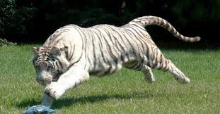 white tiger the color of controversy