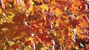 sugar maple tree acer saccharum in autumn colors in ohio leaves
