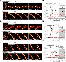palmitoylation of lim kinase 1 ensures spine specific actin