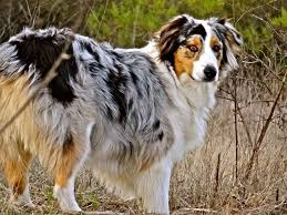 australian shepherd names male 17 best images about australian shepherd on pinterest dog coat