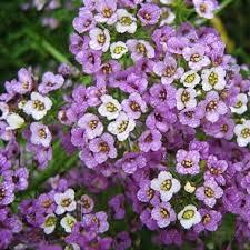 alyssum flowers sweet alyssum purple lobularia maritima royal carpet