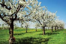Cherry Tree Fruit - cherry tree and fruit britannica com