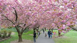 Brooklyn Botanic Gardens by The First Cherry Blossom Is Out At Brooklyn Botanic Garden