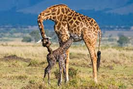 heartwarming pictures show giraffe giving birth to baby before