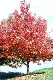 manchurian ornamental pear 8 pot hello hello plants garden supplies