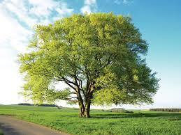 beech fagus sylvatica trees woodland trust