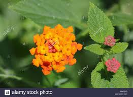 lantana camara also known as spanish flag or west indian lantana