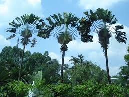 why are palm trees beautiful fan palm palm and gardens