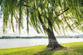royalty free willow tree pictures images and stock photos istock