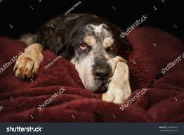 bluetick coonhound mix sale old senior retired bluetick coonhound pet stock photo 369308924