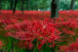 louisiana native plant society plant of the month texas spiderlily native plant society of