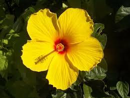 hawaii native plants find native hawaiian flowers and trees at akamai landscape