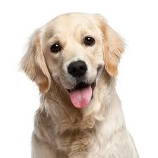 How To Get A Comfort Dog Dog Insurance Plans Dog Medical U0026 Health Insurance