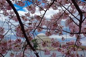 2017 national cherry blossom festival u2013 hikaru tamaki cellist