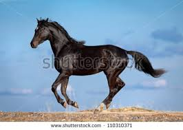 Black Horse Mustang Black Horse Running Stock Images Royalty Free Images U0026 Vectors