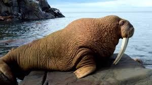 Walrus Meme - walrus sounds youtube