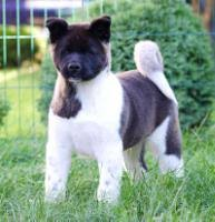 belgian malinois import pup for sale belgian malinois puppies for sale belgian shepherd malinoa