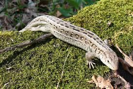 lizard lacertilia animals a z animals