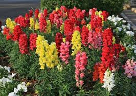 snapdragon flowers southern gardening snapdragons meet winter challenges gulflive