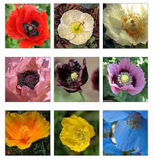 Types Of Garden Flowers - growing different kinds of poppies deer resistant flowers
