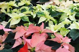 christmas flowering houseplants rhs gardening
