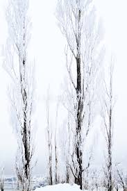 thin snow covered trees stock image image of freeze park