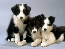 australian shepherd vs border collie border collie breed guide learn about the border collie