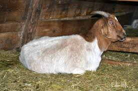 uterine problems in goats eden hills