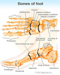 Calcaneus Anatomy Anatomy Organ Pictures Bones Of The Foot Images Collection Top