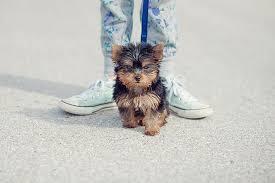 bichon frise vs yorkie teacup yorkie puppies dogtime