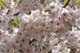 ornamental flowering cherry trees are available in large medium