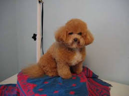 haircutsfordogs poodlemix dog spring hair cut before and after youtube