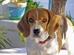 affenpinscher coat type ask a groomer how does coat type affect grooming u2013 iheartdogs com
