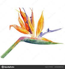 bird of paradise flower strelitzia reginae crane flower