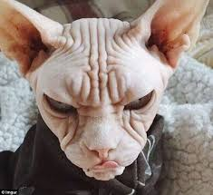 Hairless Cat Meme - are these the angriest animals on the internet sphynx cat