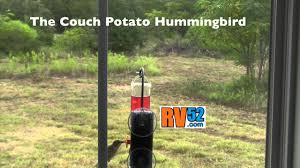 Fat Couch Potatoes Incredibly Cute Little Fat Couch Potato Hummingbird Youtube