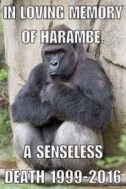 Gorilla Memes - harambe and the magic of memes the mancunion