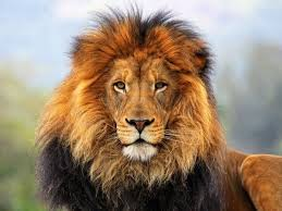 lion king jungle u0027m