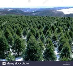 christmas tree farms in pa christmas lights decoration