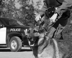 belgian malinois police k9 dogs 22 fun facts about breeds training u0026 more