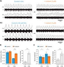 sodium pumps mediate activity dependent changes in mammalian motor